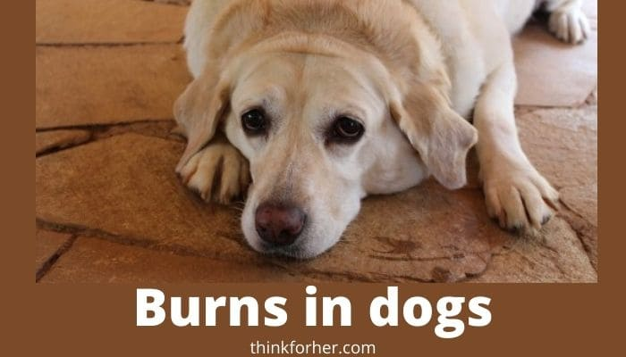 Burns in dogs