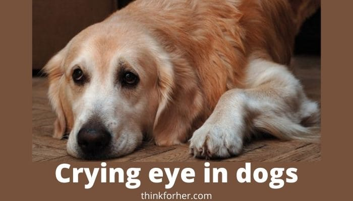 Crying eye in dogs