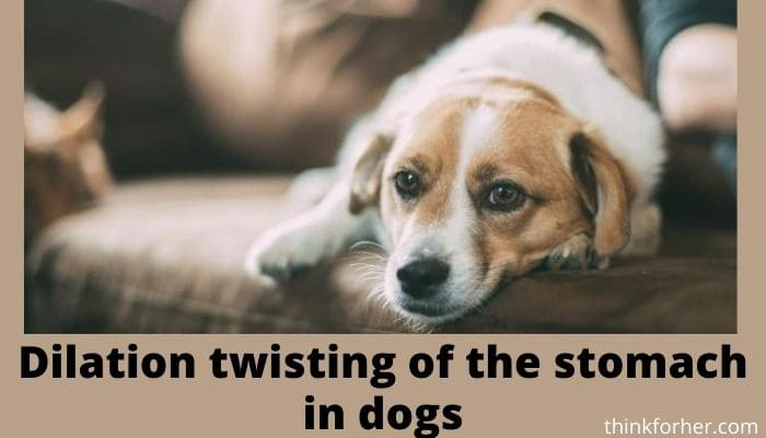 Dilation twisting of the stomach in dogs
