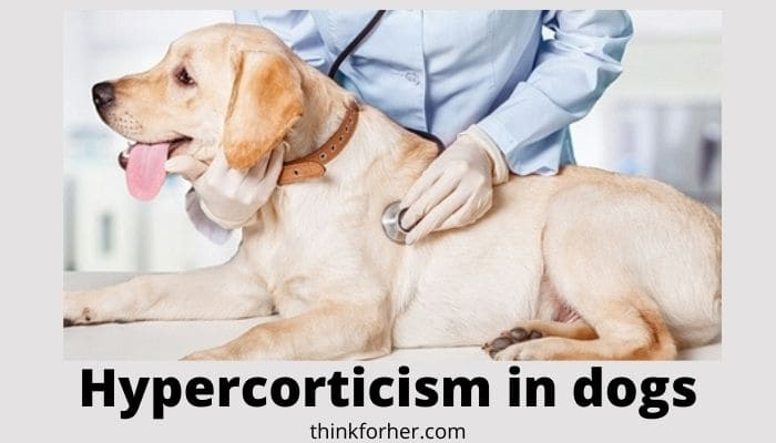 Hypercorticism in dogs