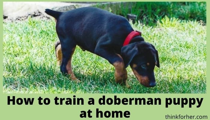 How to train a doberman puppy at home